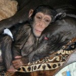 A Loving Dog With An Orphaned Chimp
