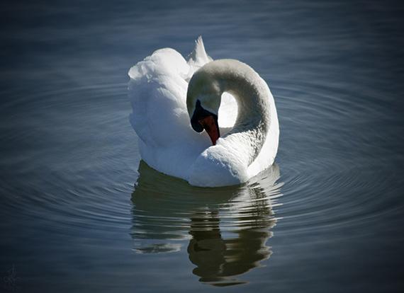 Mute Swan-smaller